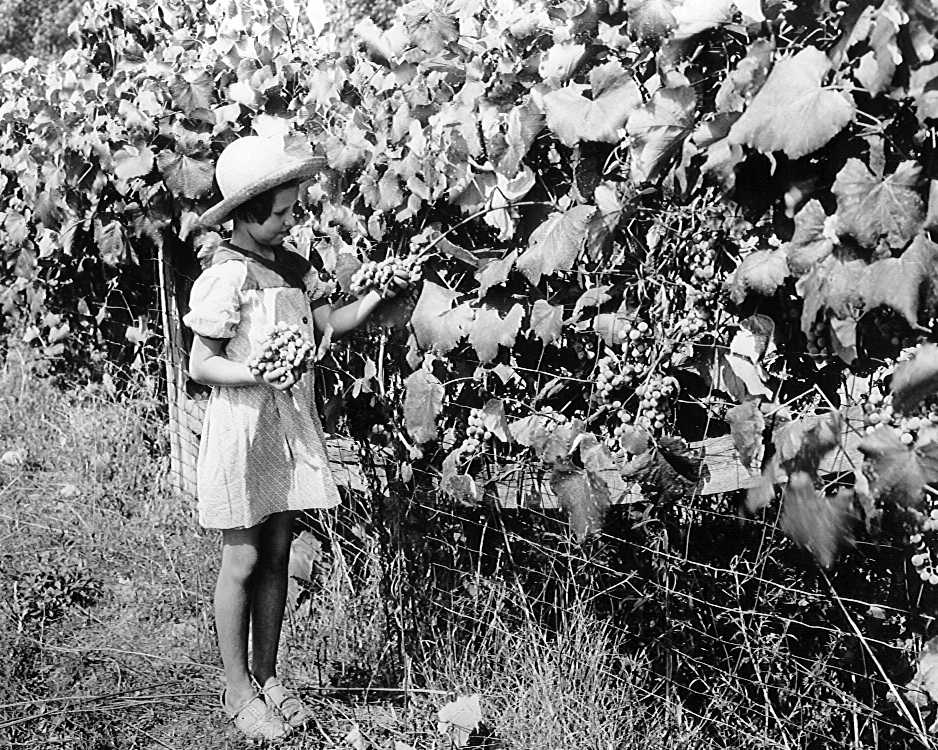 Girl Picking Tennessee Grapes, circa 1940
